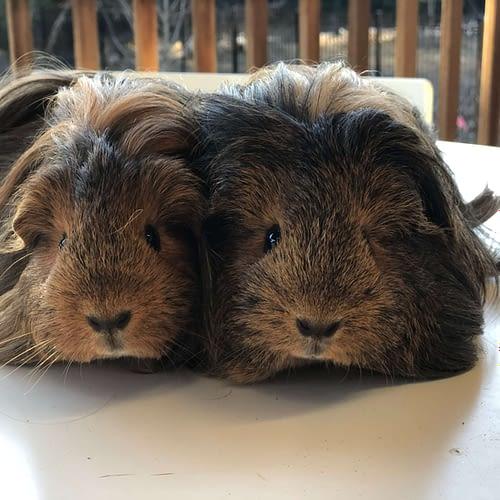 Guiny & Pig