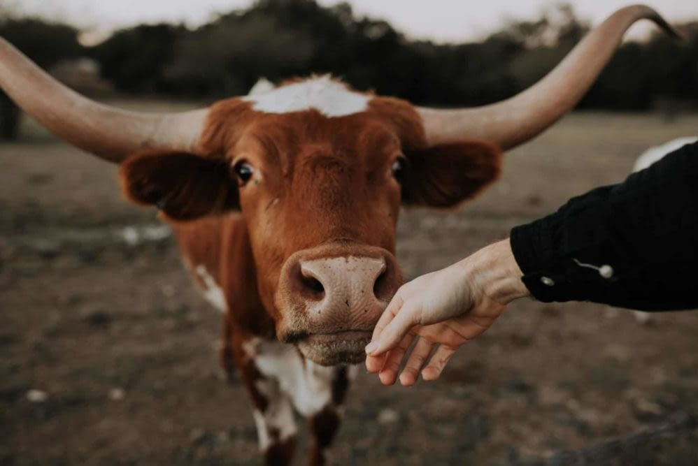 A hand reaching out and being sniffed by a longhorn